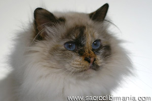 emily seal tortie point