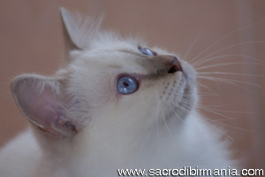 Minosse, lilac-tabby-point