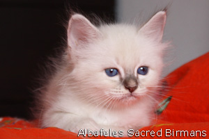 blue-tabby point